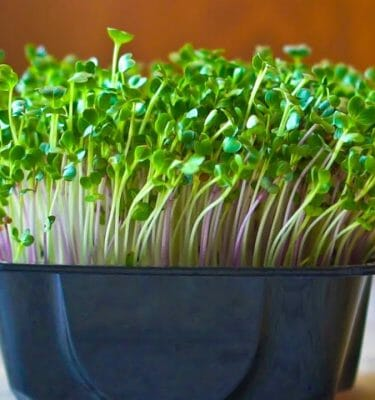 Microgreens Kits